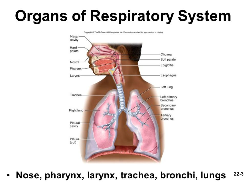 22-3 Organs of Respiratory System Nose, pharynx, larynx, trachea, bronchi, lungs