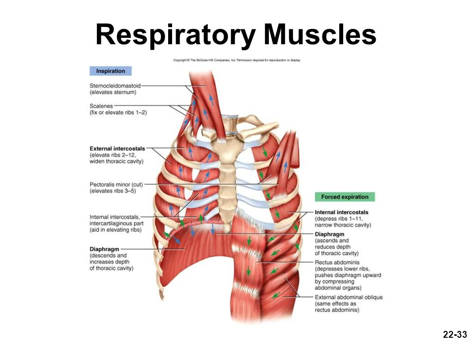 22-33 Respiratory Muscles