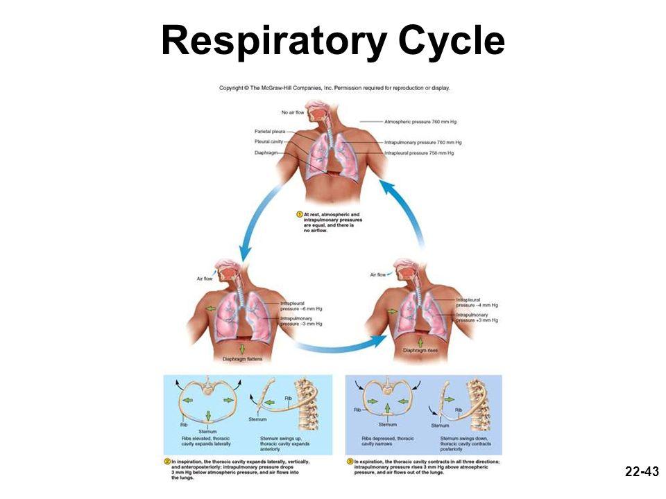 22-43 Respiratory Cycle