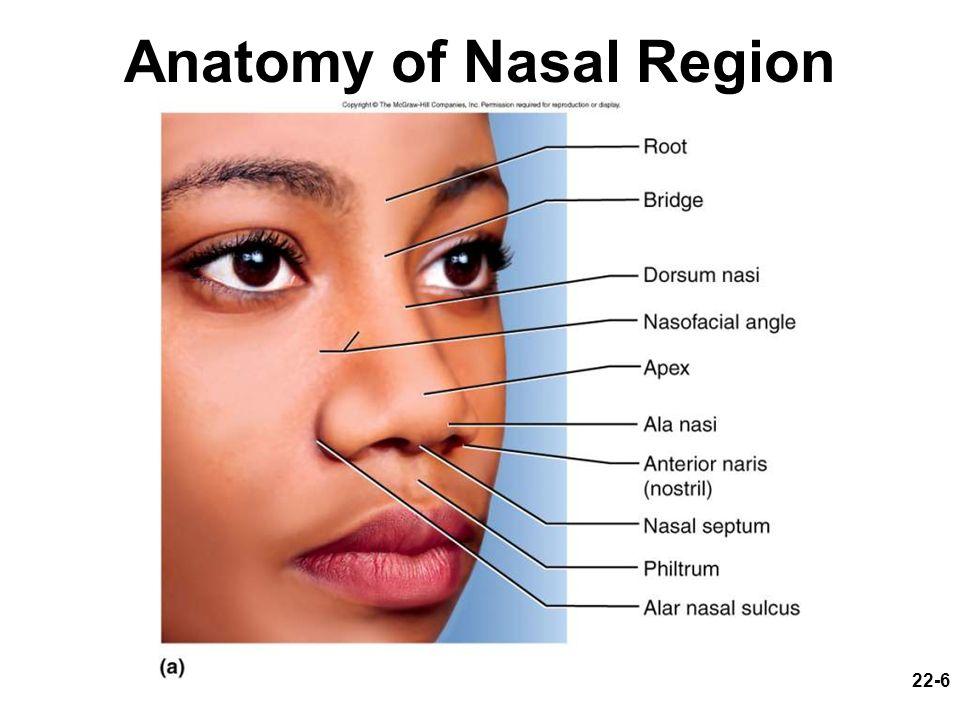 22-6 Anatomy of Nasal Region