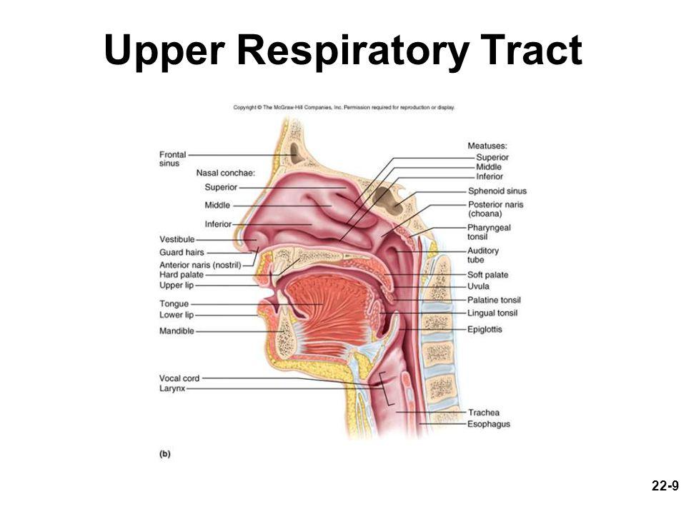Upper Respiratory Anatomy 2018 Images Pictures Respiratory