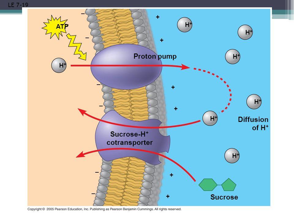 LE 7-19 H+H+ ATP Proton pump Sucrose-H + cotransporter Diffusion of H + Sucrose H+H+ H+H+ H+H+ H+H+ H+H+ H+H+ + + + + + + – – – – – –