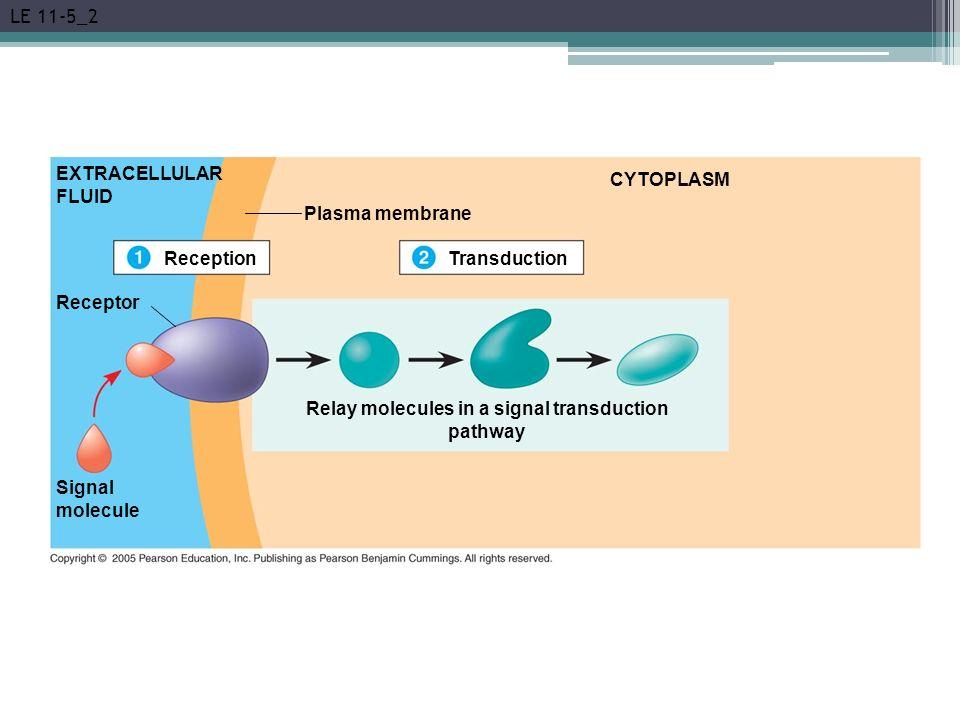 LE 11-5_2 EXTRACELLULAR FLUID Reception Plasma membrane Transduction CYTOPLASM Receptor Signal molecule Relay molecules in a signal transduction pathw