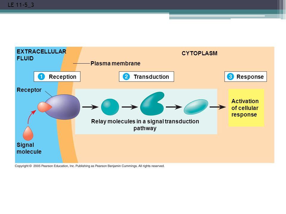 LE 11-5_3 EXTRACELLULAR FLUID Reception Plasma membrane Transduction CYTOPLASM Receptor Signal molecule Relay molecules in a signal transduction pathw