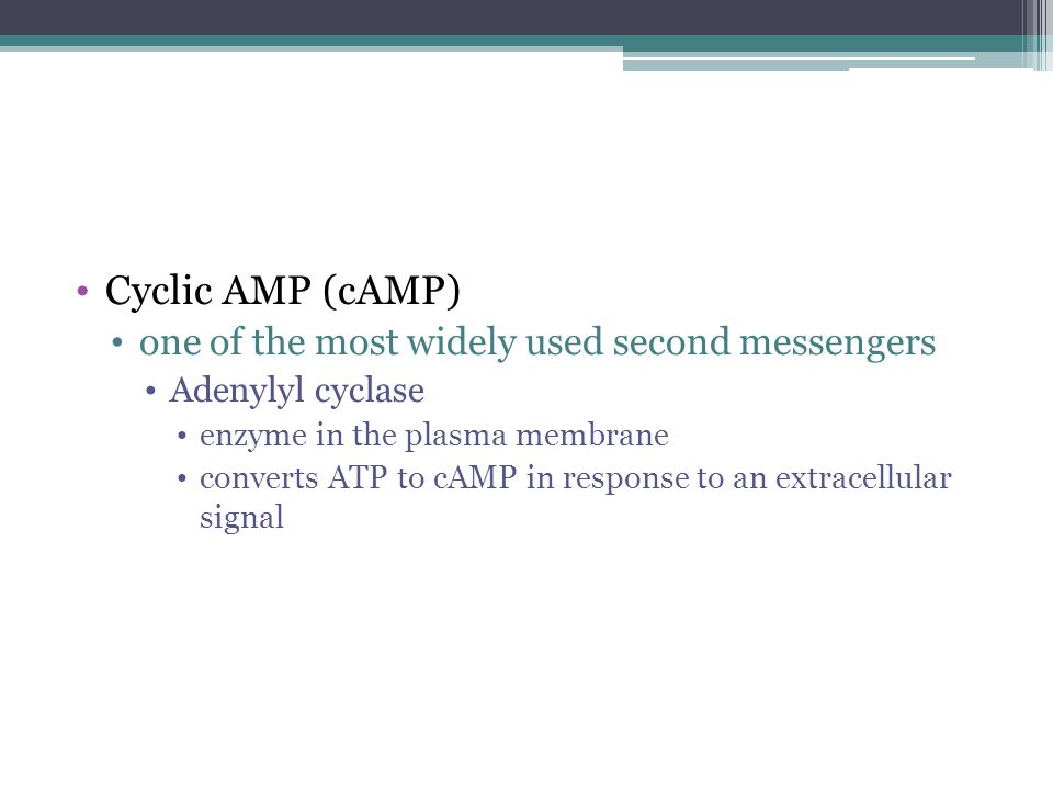 Cyclic AMP (cAMP) one of the most widely used second messengers Adenylyl cyclase enzyme in the plasma membrane converts ATP to cAMP in response to an