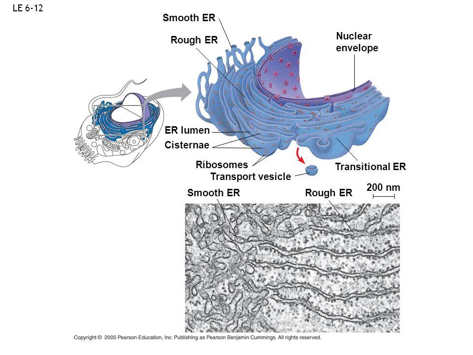 LE 6-12 Ribosomes Smooth ER Rough ER ER lumen Cisternae Transport vesicle Smooth ER Rough ER Transitional ER 200 nm Nuclear envelope
