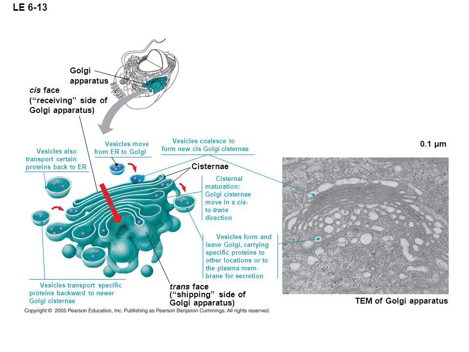 LE 6-13 trans face (shipping side of Golgi apparatus) TEM of Golgi apparatus 0.1 µm Golgi apparatus cis face (receiving side of Golgi apparatus) Vesic