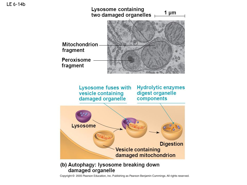 LE 6-14b Autophagy: lysosome breaking down damaged organelle 1 µm Vesicle containing damaged mitochondrion Mitochondrion fragment Lysosome containing
