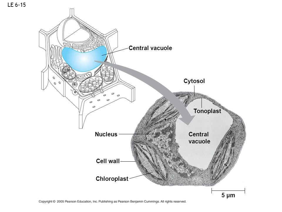 LE 6-15 5 µm Central vacuole Cytosol Tonoplast Central vacuole Nucleus Cell wall Chloroplast