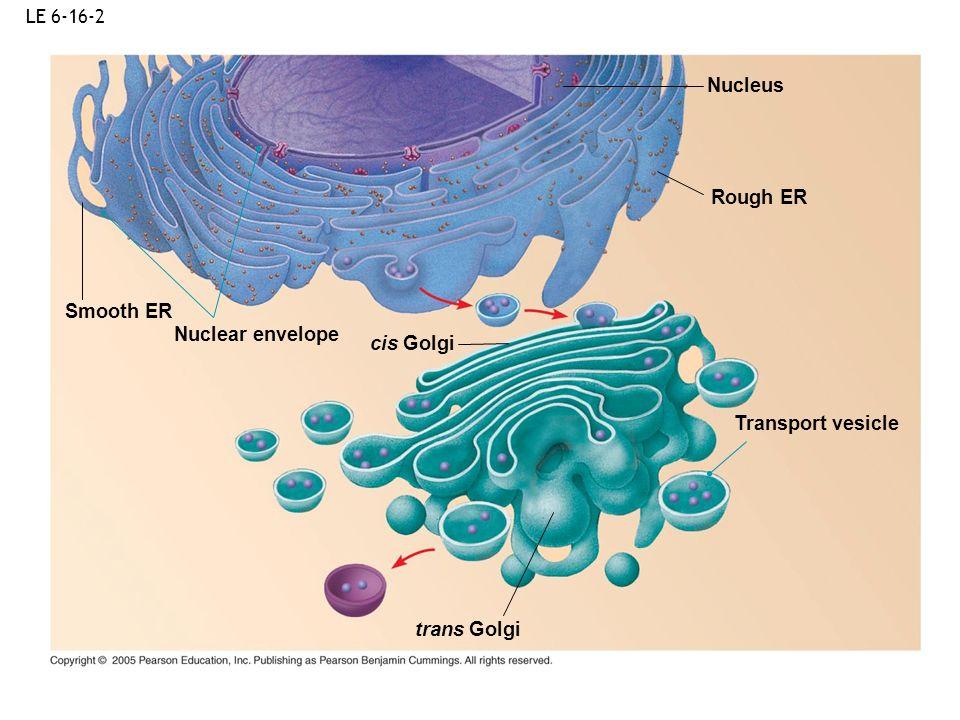 LE 6-16-2 Nuclear envelope Nucleus Rough ER Smooth ER Transport vesicle cis Golgi trans Golgi