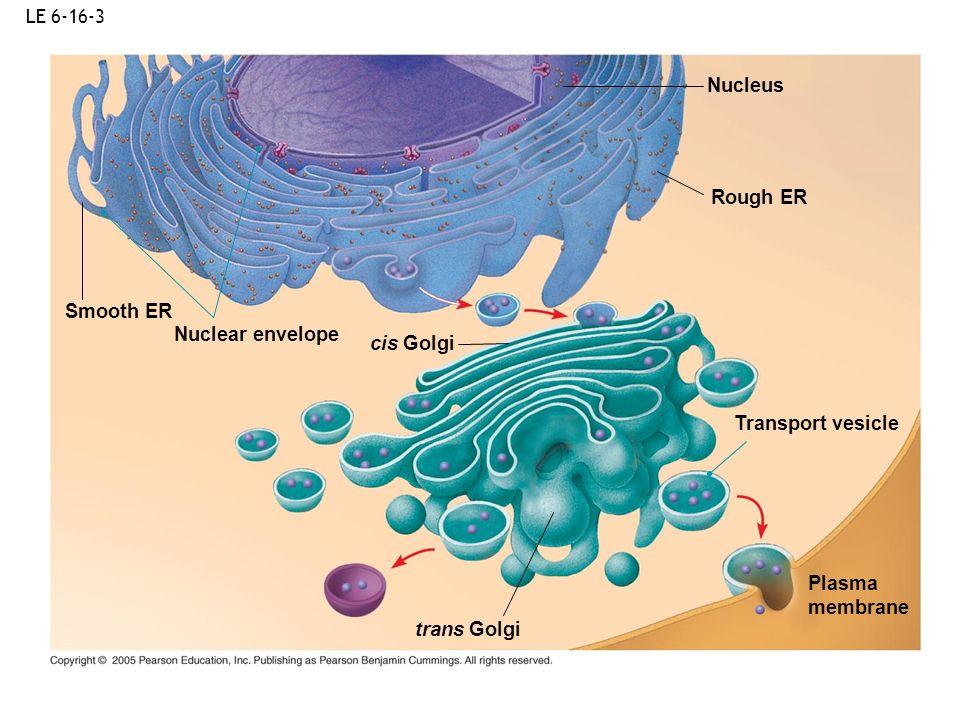 LE 6-16-3 Nuclear envelope Nucleus Rough ER Smooth ER Transport vesicle cis Golgi trans Golgi Plasma membrane