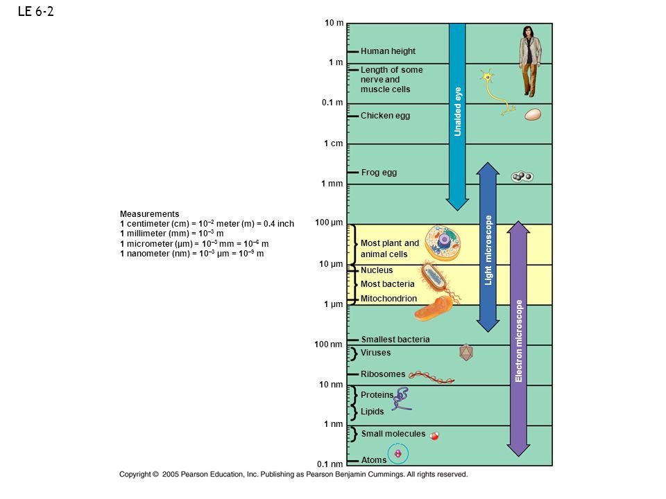 LE 6-2 Measurements 1 centimeter (cm) = 10 –2 meter (m) = 0.4 inch 1 millimeter (mm) = 10 –3 m 1 micrometer (µm) = 10 –3 mm = 10 –6 m 1 nanometer (nm)