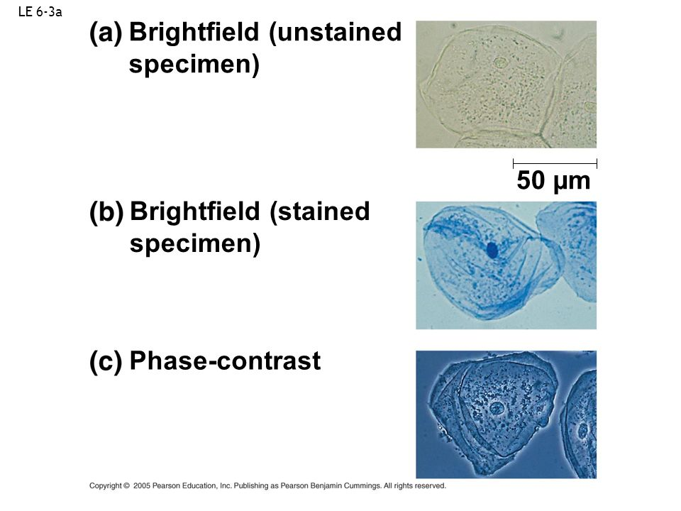 LE 6-3a Brightfield (unstained specimen) 50 µm Brightfield (stained specimen) Phase-contrast