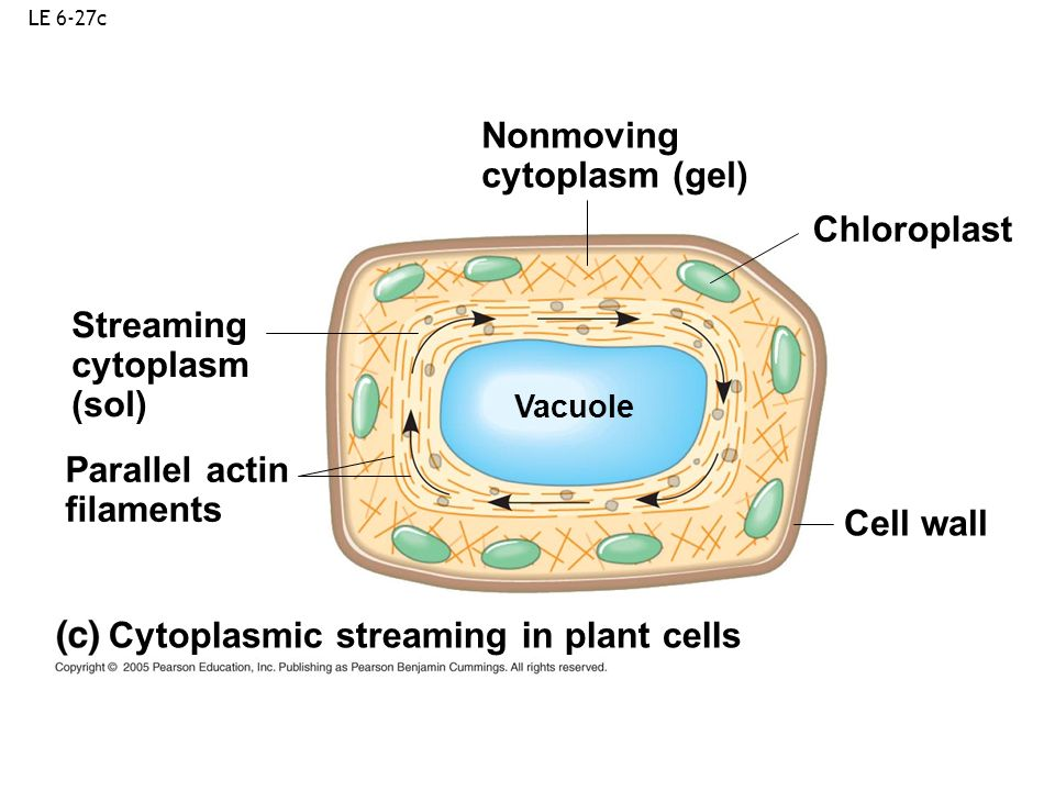 LE 6-27c Nonmoving cytoplasm (gel) Cytoplasmic streaming in plant cells Chloroplast Streaming cytoplasm (sol) Cell wall Parallel actin filaments Vacuo