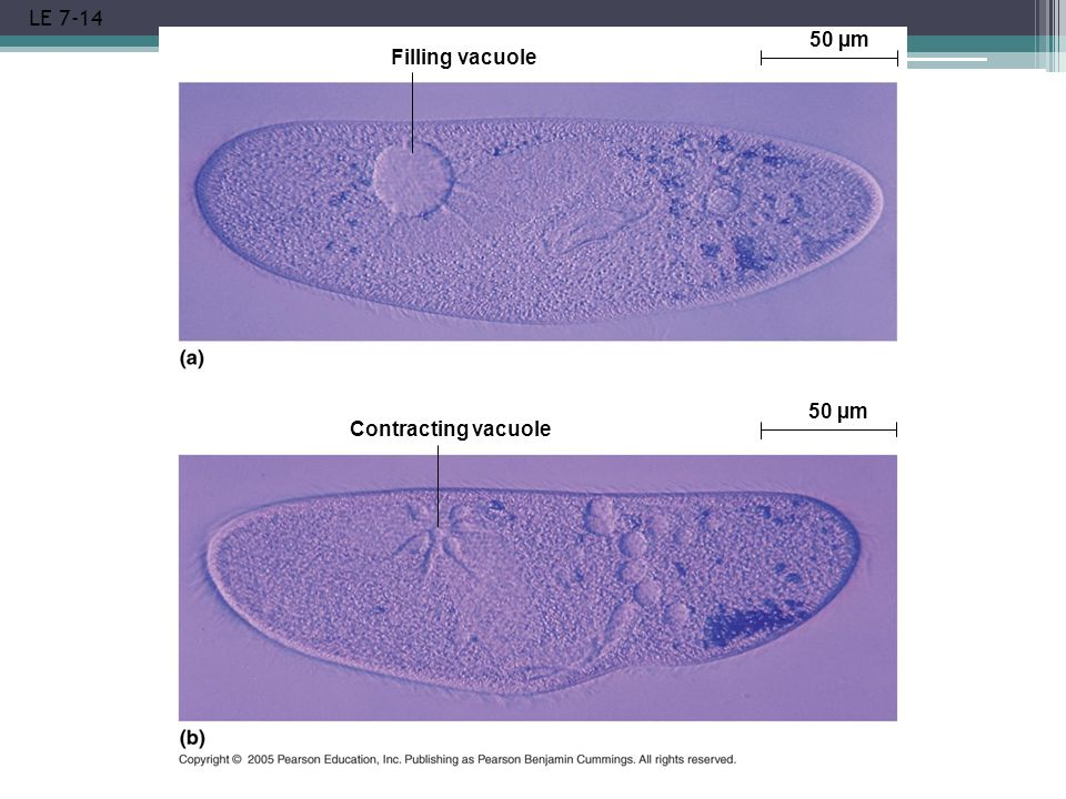 LE 7-14 Filling vacuole 50 µm Contracting vacuole