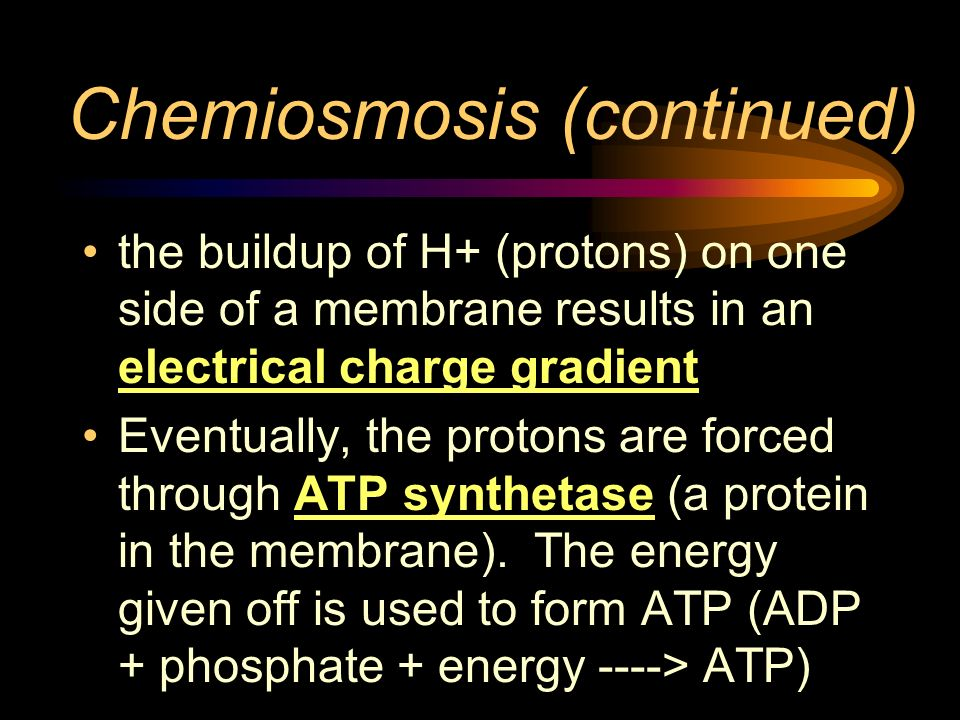 Chemiosmosis (continued) the buildup of H+ (protons) on one side of a membrane results in an electrical charge gradient Eventually, the protons are fo