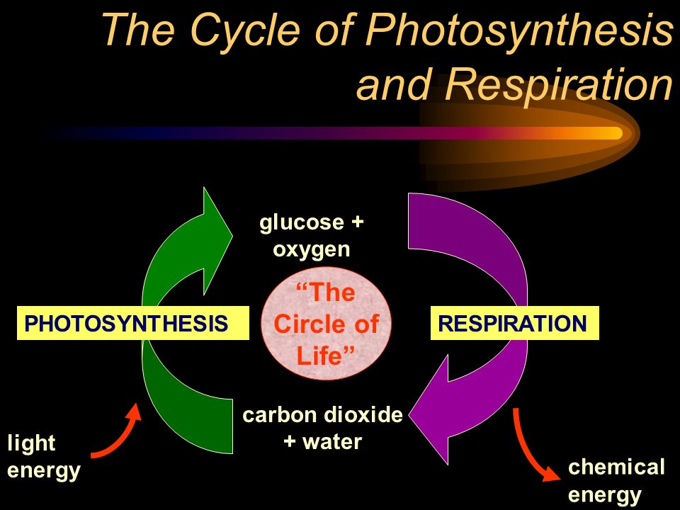 The Cycle of Photosynthesis and Respiration carbon dioxide + water glucose + oxygen light energy chemical energy RESPIRATIONPHOTOSYNTHESIS The Circle