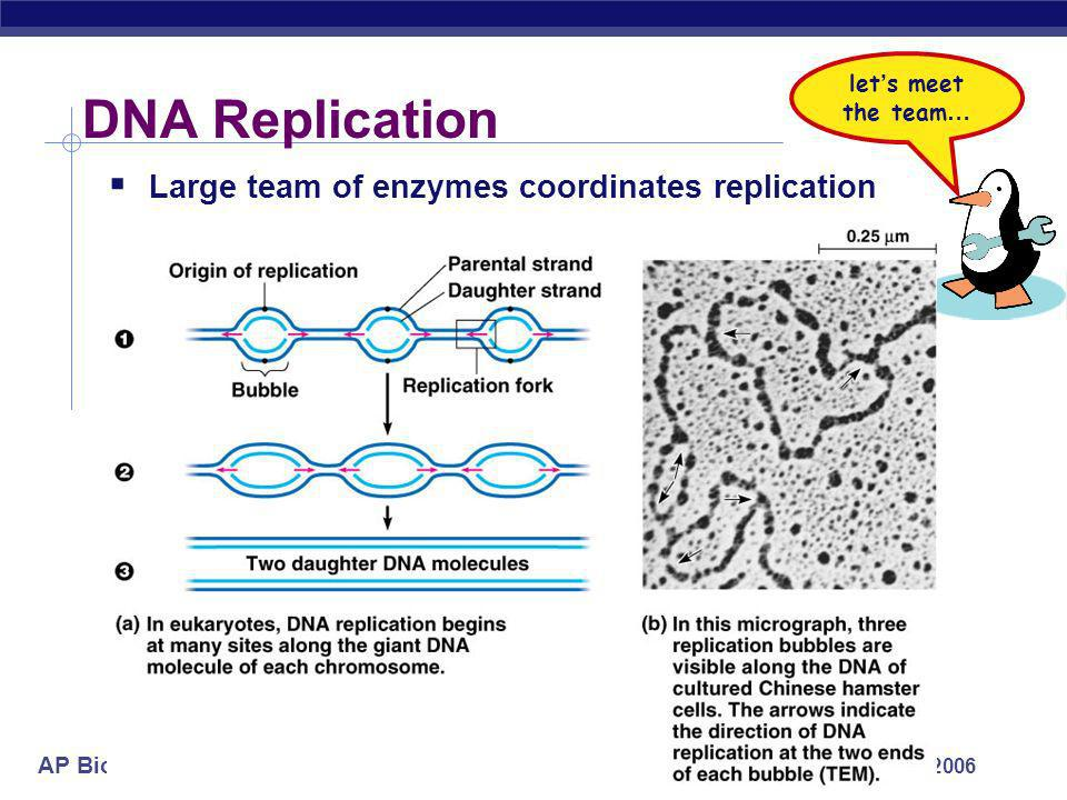 AP Biology 2005-2006 Semi-conservative replication Make predictions… 15 N strands replicated in 14 N medium 1st round of replication? 2nd round? 1958