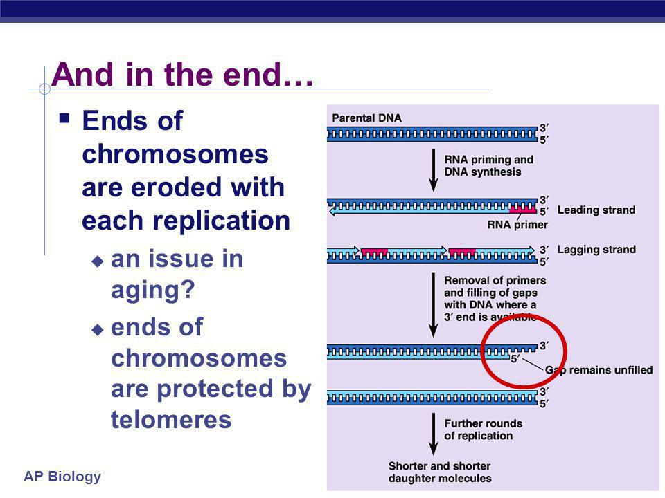 AP Biology 2005-2006 Replication fork 3 5 3 5 5 3 leading strand Okazaki fragments lagging strand 35 DNA polymerase III ligase helicase direction of r