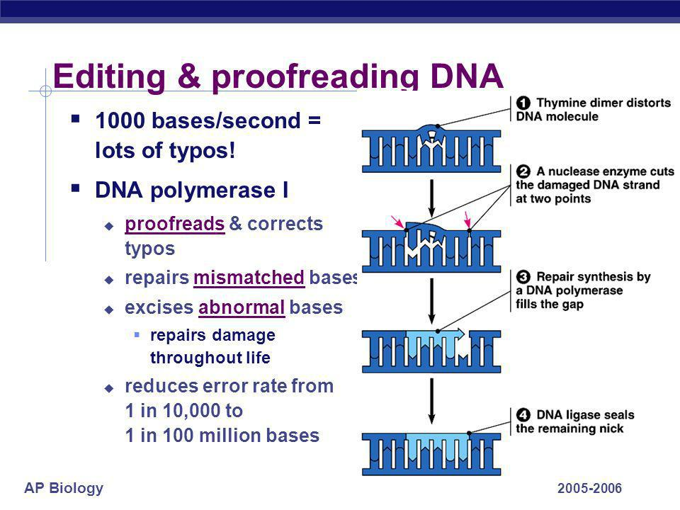 AP Biology 2005-2006 DNA polymerases DNA polymerase III 1000 bases/second main DNA building enzyme DNA polymerase I 20 bases/second editing, repair &
