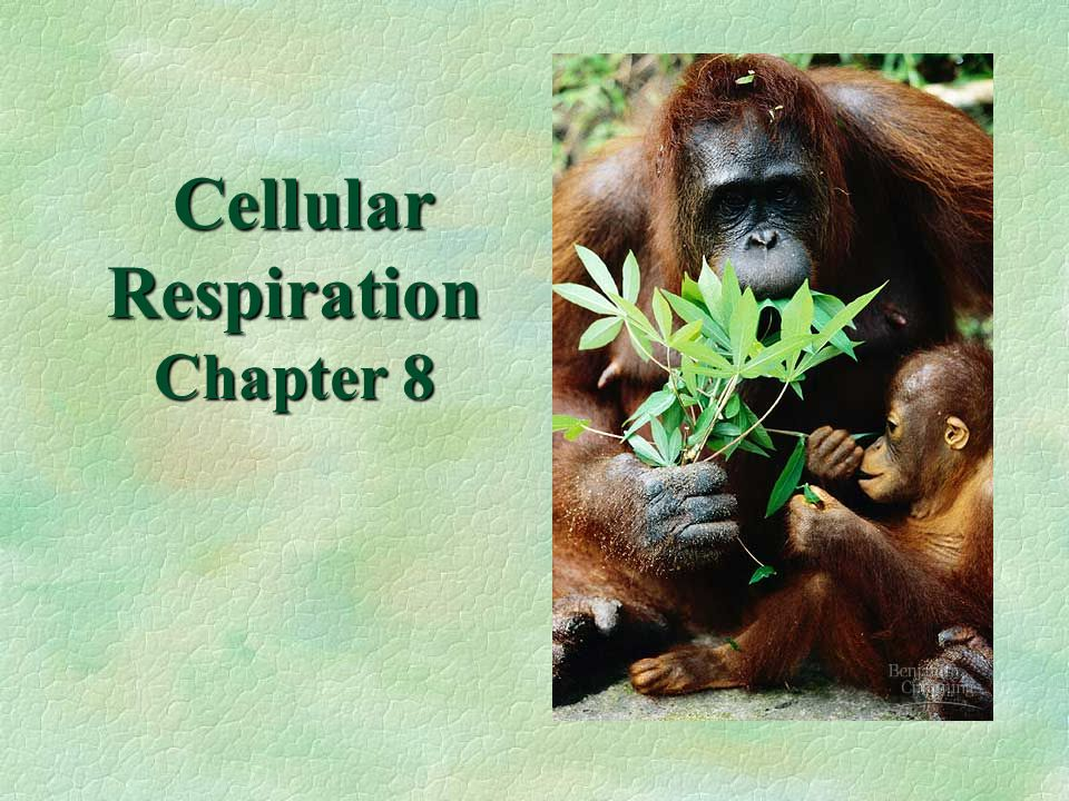 Cellular Respiration Chapter 8 Cellular Respiration Chapter 8
