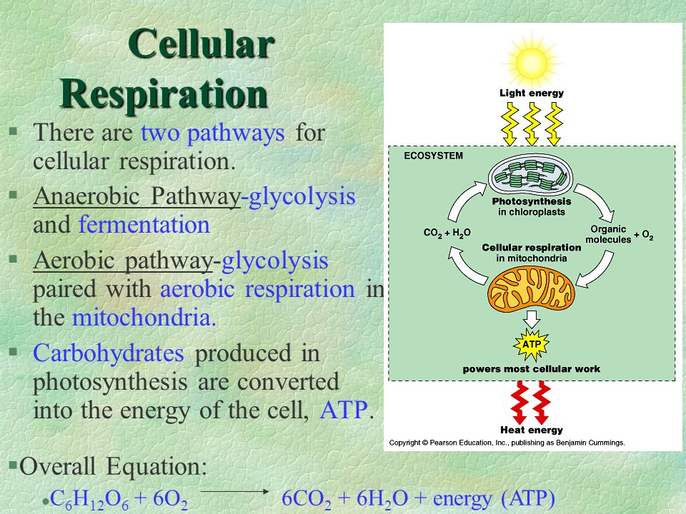 Cellular Respiration §There are two pathways for cellular respiration. §Anaerobic Pathway-glycolysis and fermentation §Aerobic pathway-glycolysis pair