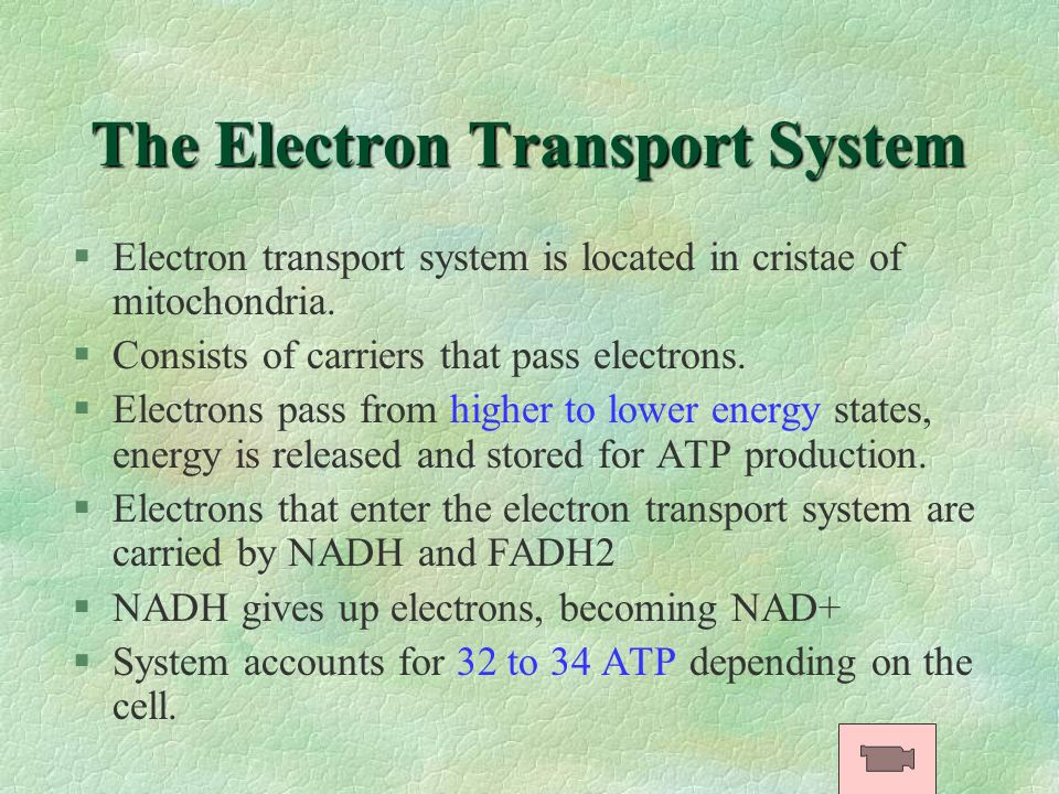 The Electron Transport System §Electron transport system is located in cristae of mitochondria. §Consists of carriers that pass electrons. §Electrons