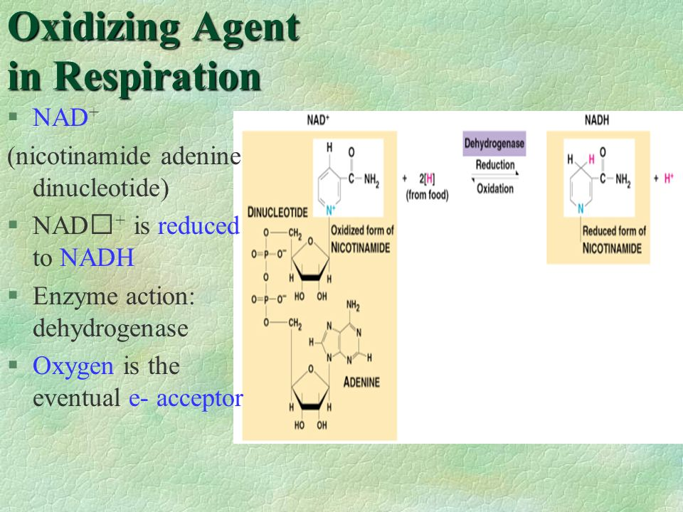 Oxidizing Agent in Respiration §NAD + (nicotinamide adenine dinucleotide) §NAD + is reduced to NADH §Enzyme action: dehydrogenase §Oxygen is the event