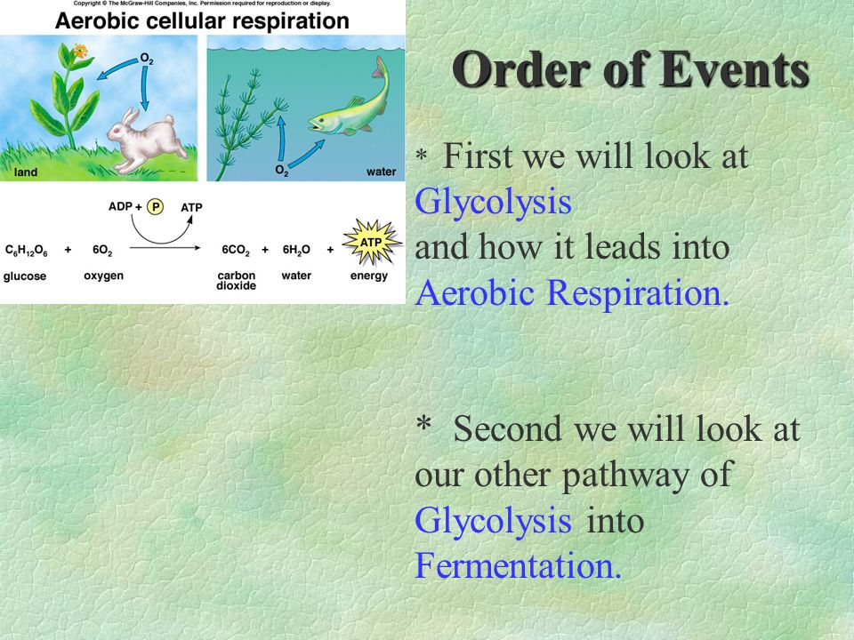 Order of Events * First we will look at Glycolysis and how it leads into Aerobic Respiration. * Second we will look at our other pathway of Glycolysis