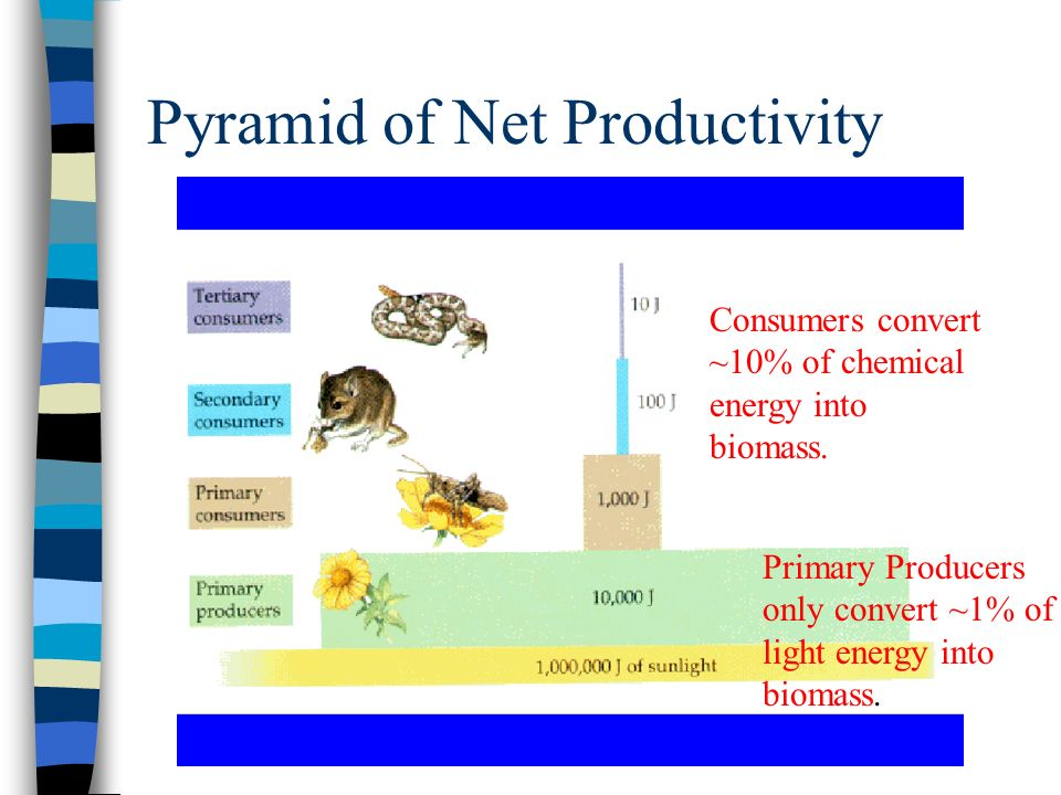 Pyramid of Net Productivity Primary Producers only convert ~1% of light energy into biomass. Consumers convert ~10% of chemical energy into biomass.