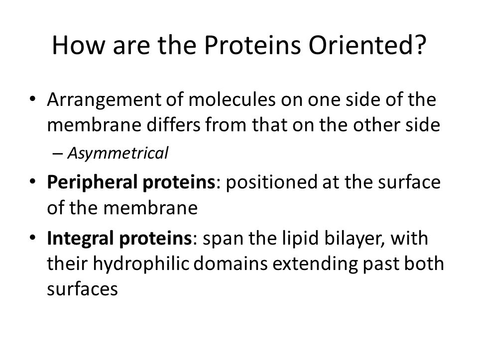 How are the Proteins Oriented? Arrangement of molecules on one side of the membrane differs from that on the other side – Asymmetrical Peripheral prot