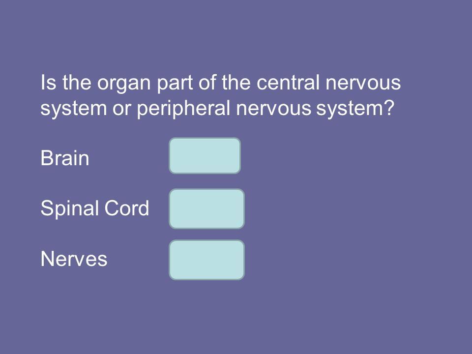 Is the organ part of the central nervous system or peripheral nervous system? BrainCNS Spinal CordCNS NervesPNS