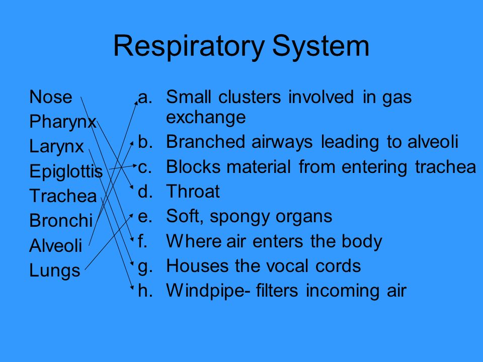 Respiratory System Nose Pharynx Larynx Epiglottis Trachea Bronchi Alveoli Lungs a.Small clusters involved in gas exchange b.Branched airways leading t