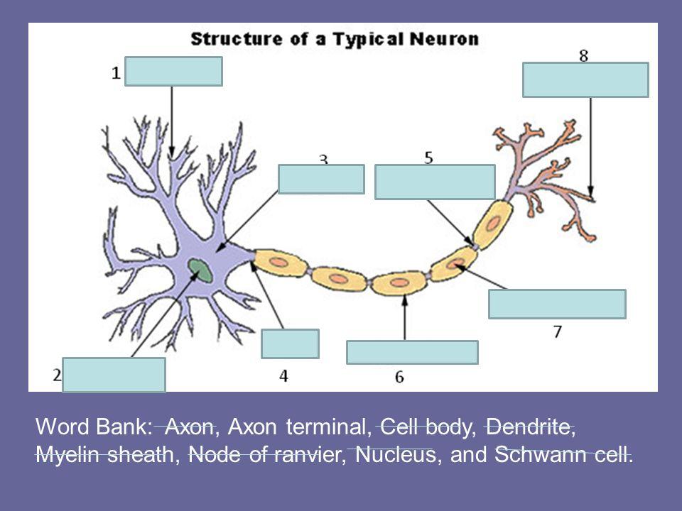 Word Bank: Axon, Axon terminal, Cell body, Dendrite, Myelin sheath, Node of ranvier, Nucleus, and Schwann cell.