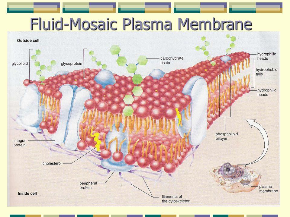 Fluid-Mosaic Plasma Membrane