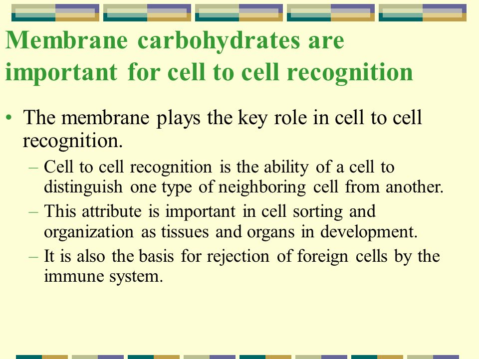 Membrane carbohydrates are important for cell to cell recognition The membrane plays the key role in cell to cell recognition. –Cell to cell recogniti