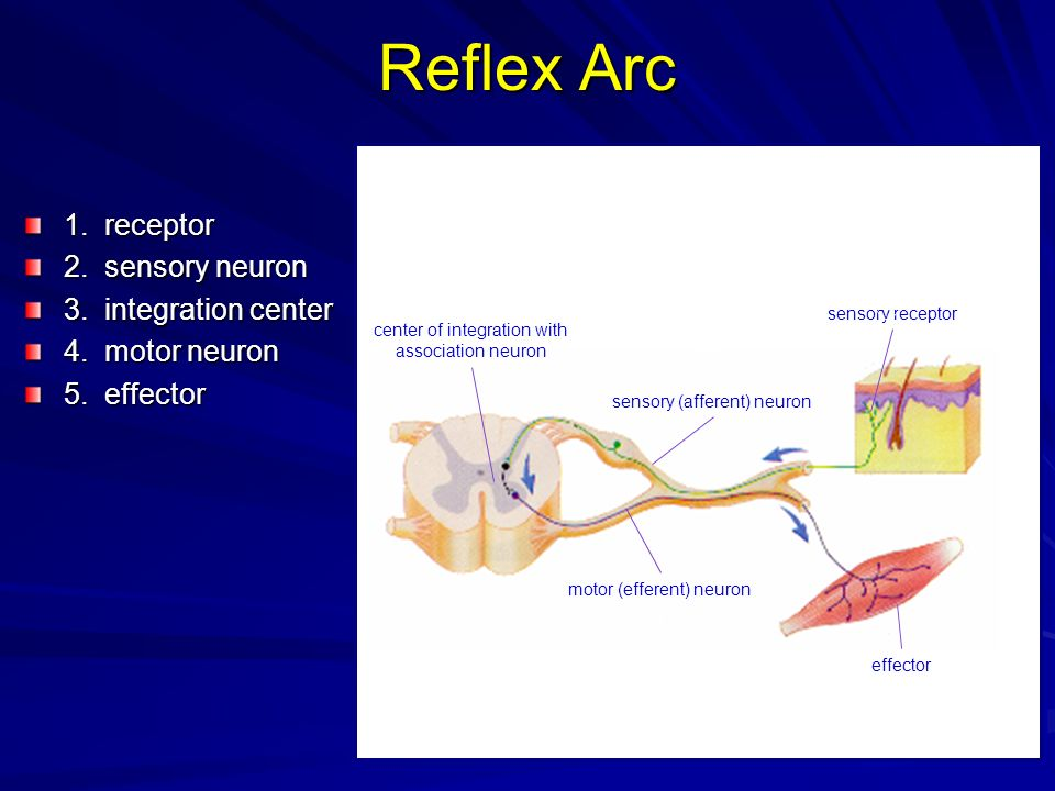 Reflex Arc 1. receptor 2. sensory neuron 3. integration center 4. motor neuron 5. effector sensory receptor 1 2 3 4 5 sensory (afferent) neuron center