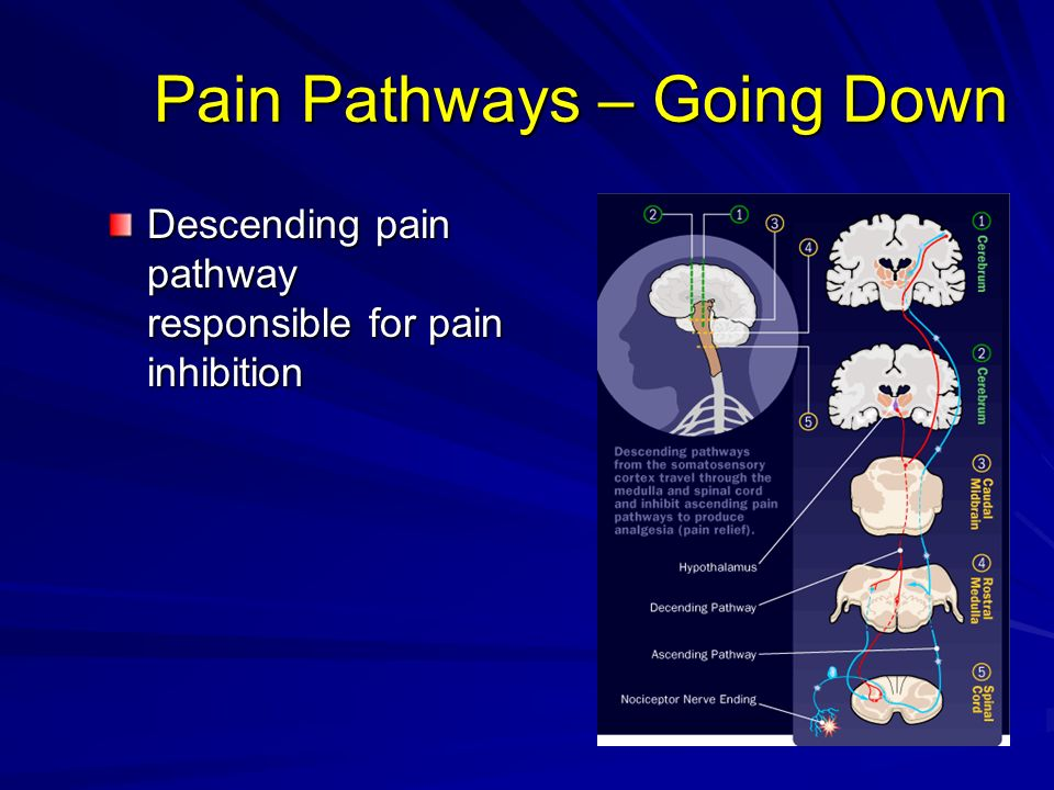 Pain Pathways – Going Down Descending pain pathway responsible for pain inhibition
