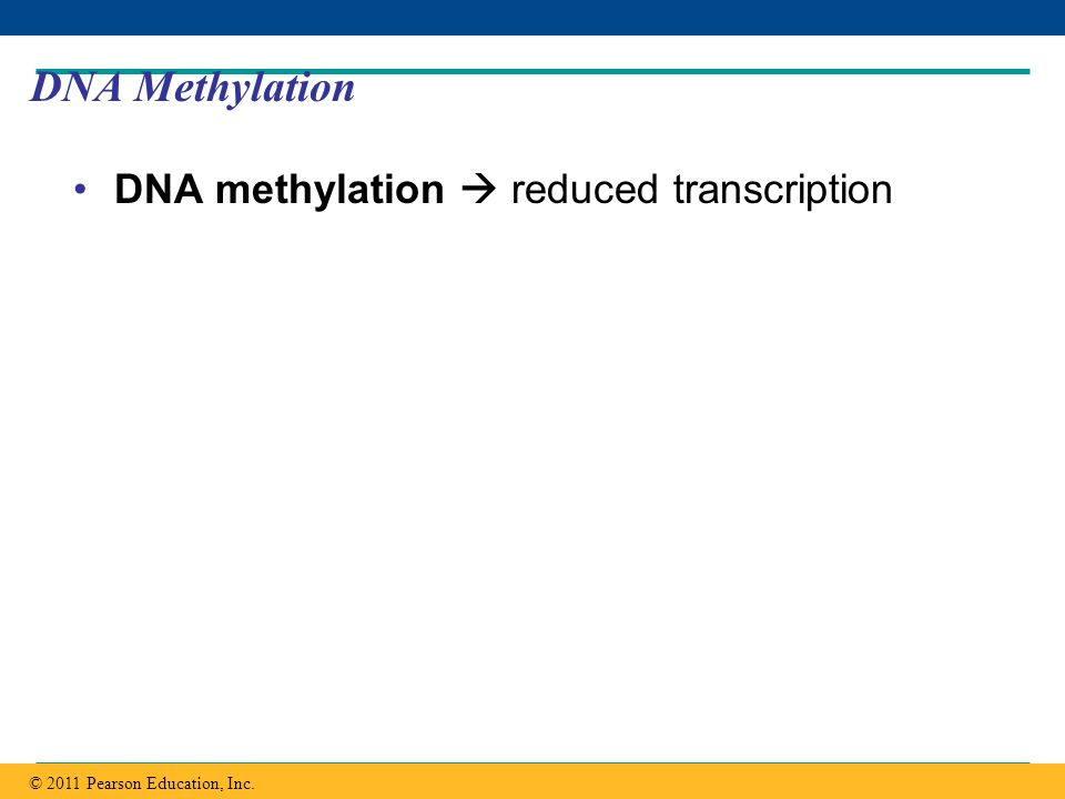 Copyright © 2005 Pearson Education, Inc. publishing as Benjamin Cummings DNA Methylation DNA methylation reduced transcription © 2011 Pearson Educatio