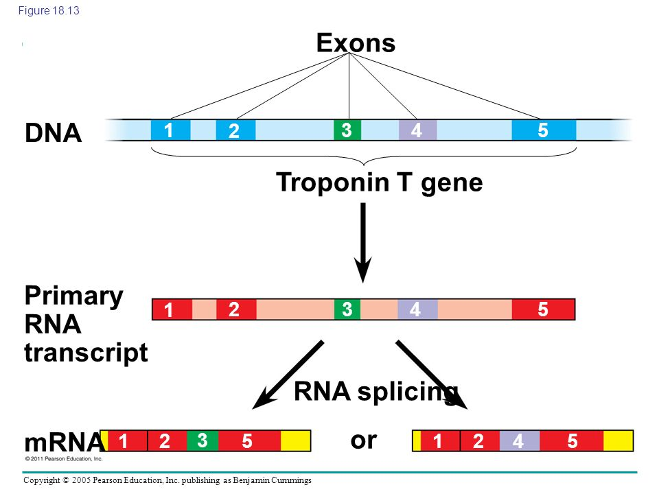 Copyright © 2005 Pearson Education, Inc. publishing as Benjamin Cummings Exons DNA Troponin T gene Primary RNA transcript RNA splicing or mRNA 1 1 11