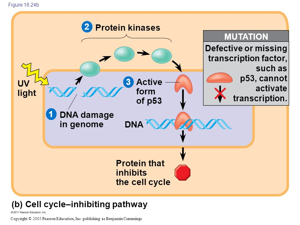 Copyright © 2005 Pearson Education, Inc. publishing as Benjamin Cummings Figure 18.24b (b) Cell cycle–inhibiting pathway Protein kinases UV light DNA