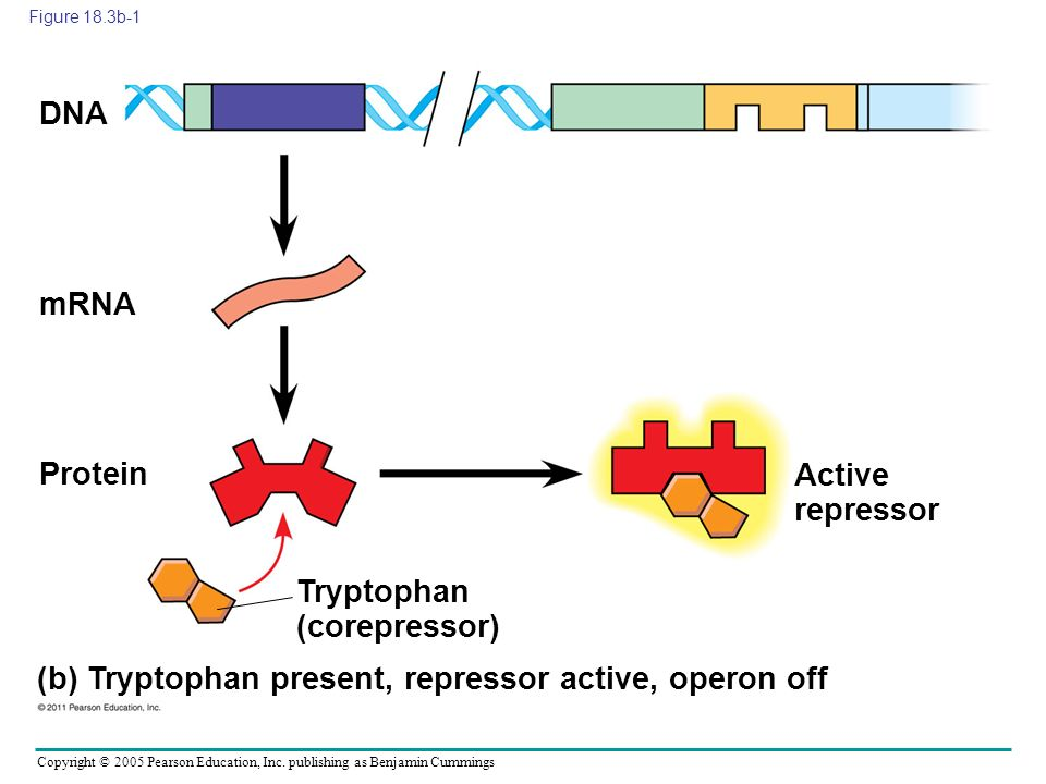 Copyright © 2005 Pearson Education, Inc. publishing as Benjamin Cummings Figure 18.3b-1 (b) Tryptophan present, repressor active, operon off DNA mRNA