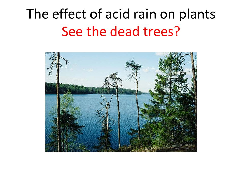 The effect of acid rain on plants See the dead trees?