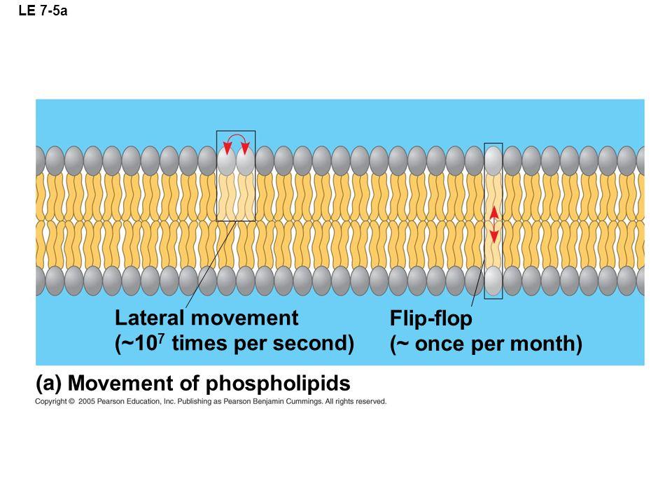 LE 7-5a Lateral movement (~10 7 times per second) Flip-flop (~ once per month) Movement of phospholipids