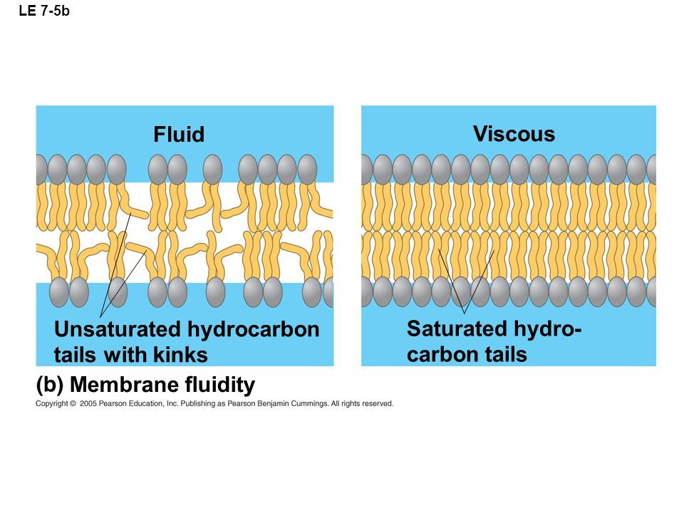 LE 7-5b Viscous Fluid Unsaturated hydrocarbon tails with kinks Membrane fluidity Saturated hydro- carbon tails