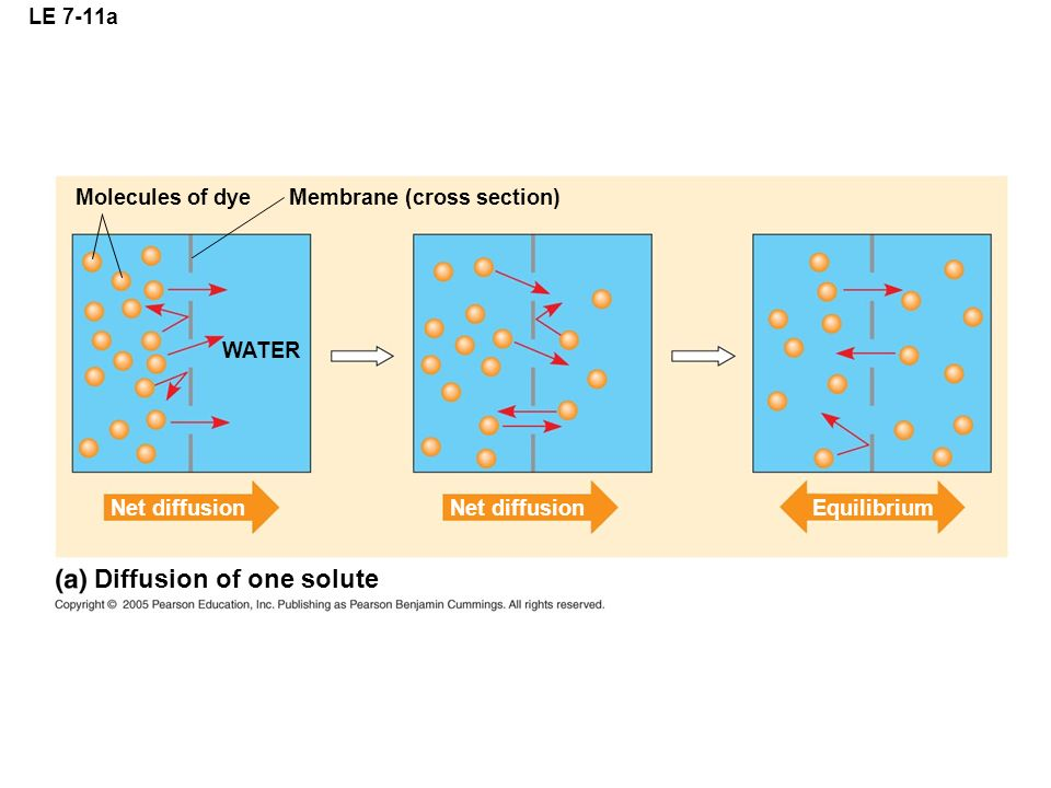 LE 7-11a Molecules of dyeMembrane (cross section) WATER Net diffusion Equilibrium Diffusion of one solute