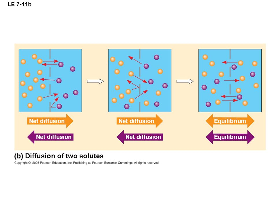 LE 7-11b Net diffusion Equilibrium Diffusion of two solutes Net diffusion Equilibrium