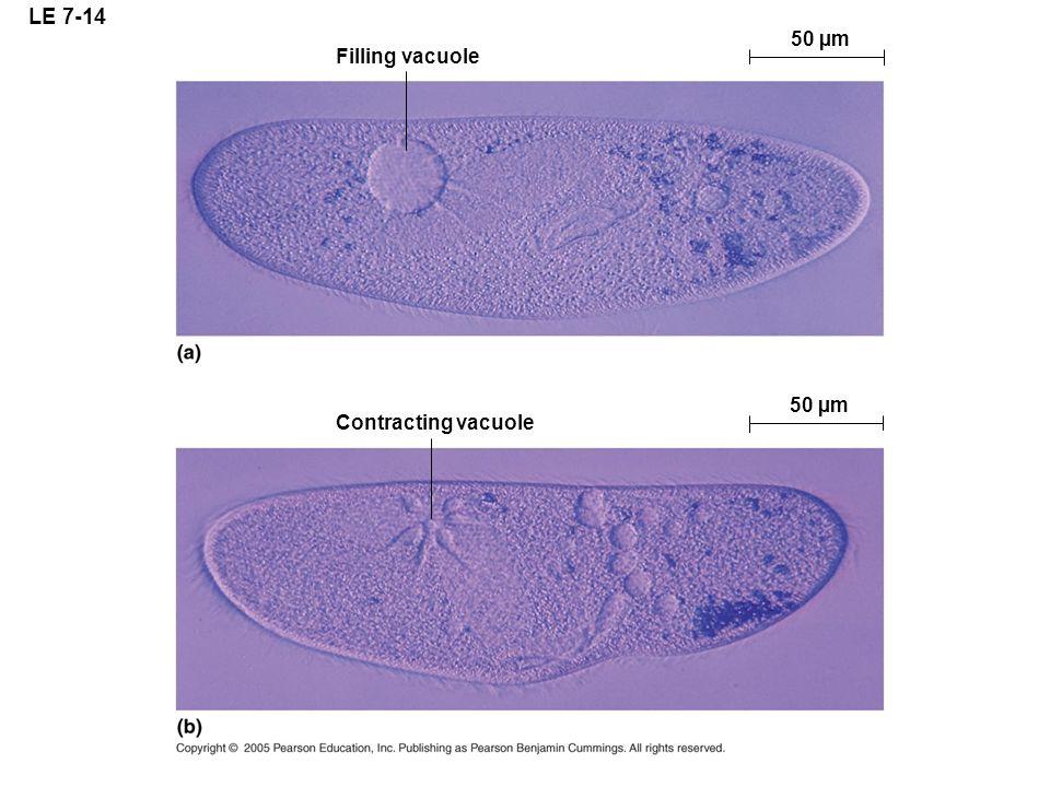 LE 7-14 Filling vacuole 50 µm Contracting vacuole