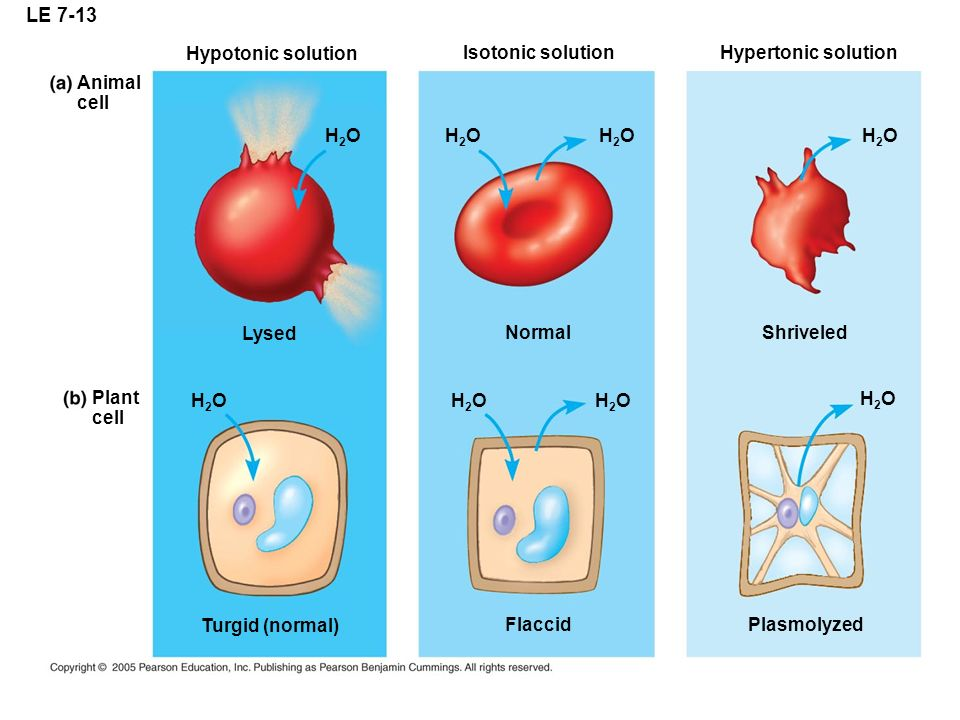 LE 7-13 Animal cell Lysed H2OH2O H2OH2O H2OH2O Normal Hypotonic solution Isotonic solutionHypertonic solution H2OH2O Shriveled H2OH2O H2OH2O H2OH2O H2