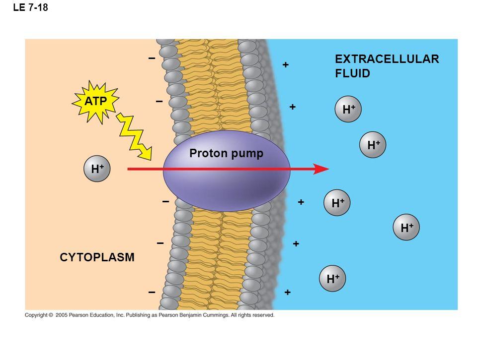 LE 7-18 H+H+ ATP CYTOPLASM EXTRACELLULAR FLUID Proton pump H+H+ H+H+ H+H+ H+H+ H+H+ + + + + + – – – – –